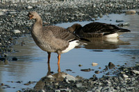 Greater White-fronted Goose 2